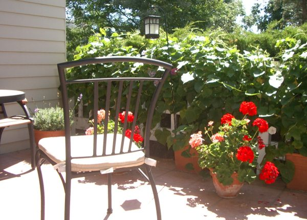 red carnations potted on a patio with table chair and hedge